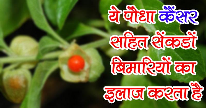 हर गाँव और शहर में पाया जाने वाला ये पौधा सेंकडो बीमारी को चुटकी में ठीक करता है
